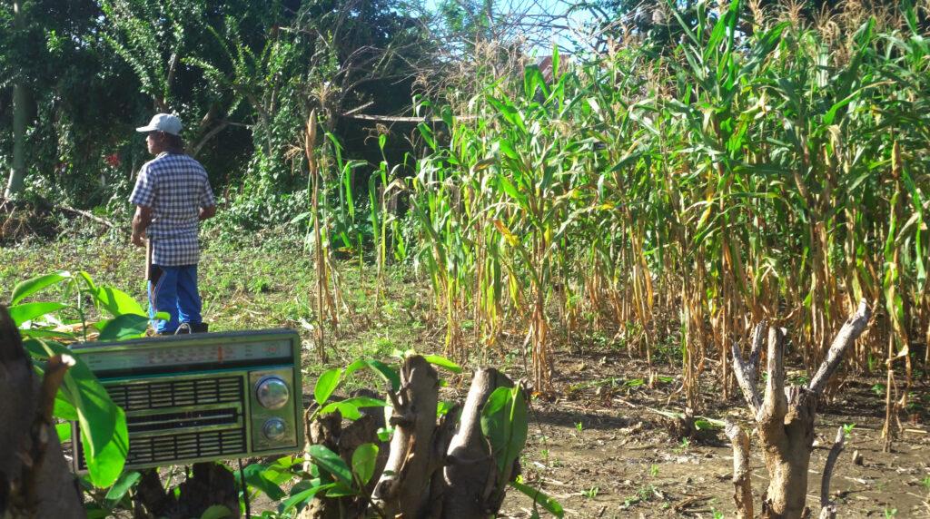 Petani membawa radio manual di kebun dan sawah untuk bisa mendengarkan siaran radio Mosintuwu yang bisa diakses di frekuensi 107.7 FM. Paska pandemi Covid-19 Radio Mosintuwu menjadi radio darurat siaga Covid-19. Foto : Dok.Mosintuwu/Ray